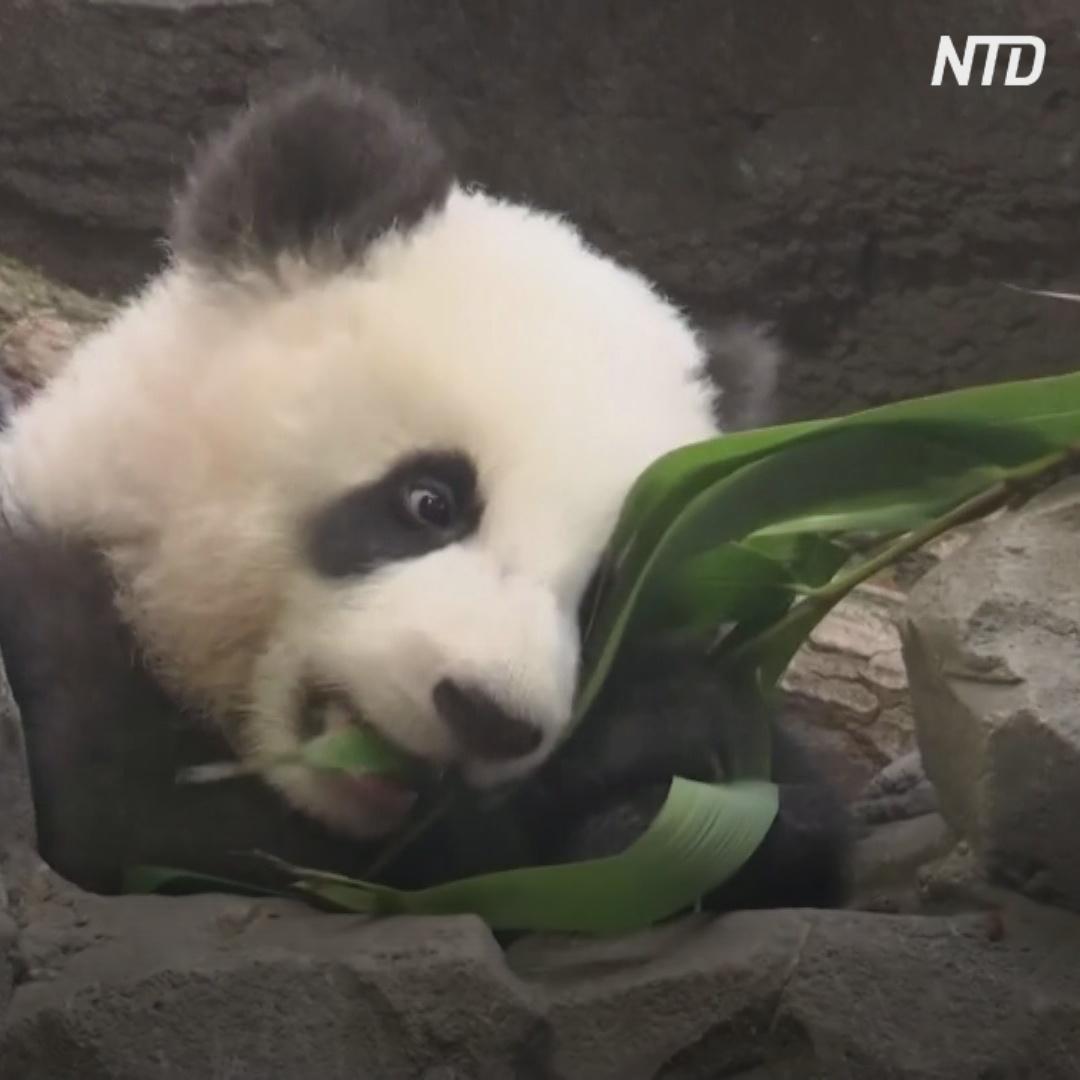 Детёныши панды кувыркаются и падают в Берлинском зоопарке