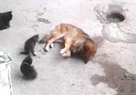 Кошка знакомит друга-собаку с котятами. Трогательное видео