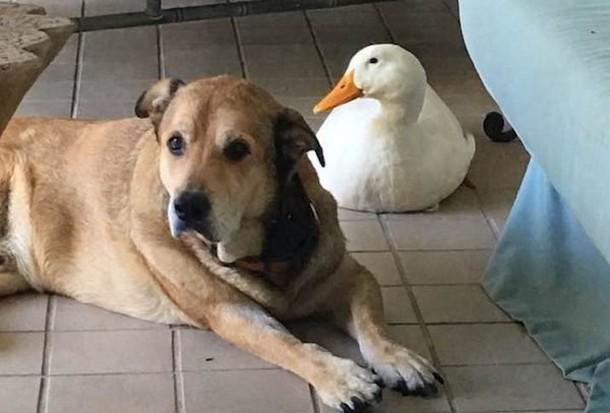 Утка помогла псу избавиться от грусти