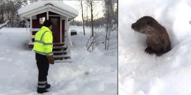 Как финский пенсионер подружился с выдрой