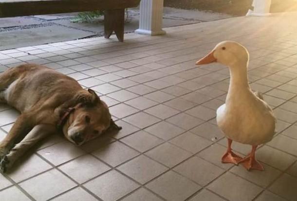 2 13 - Утка помогла псу избавиться от грусти