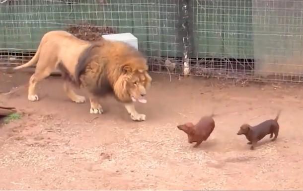 2 8 - Видео дружбы льва и таксы стало вирусным