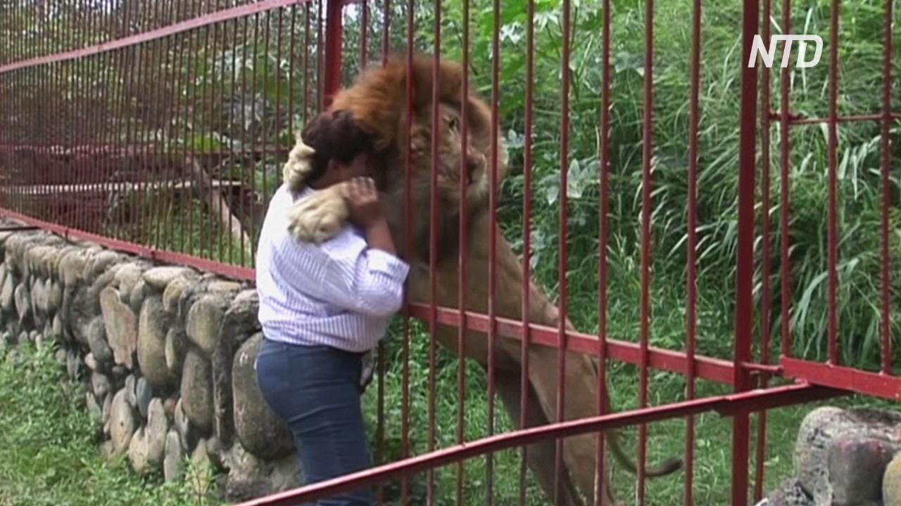 В Колумбии льва, спасённого 20 лет назад, вынуждены спасать снова