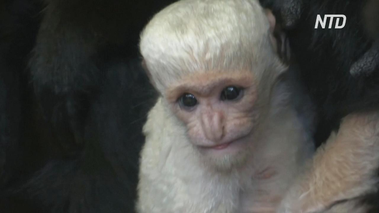 Пражский зоопарк приветствует новорождённого восточного колобуса