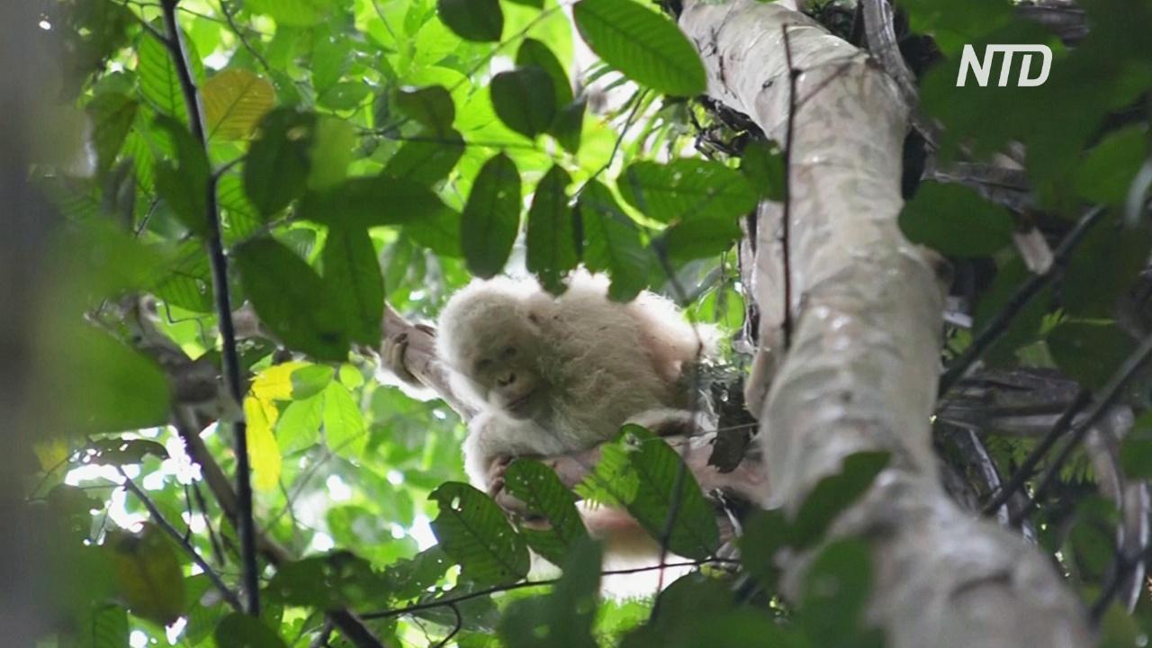 Единственный в мире орангутанг-альбинос Альба привыкает к жизни на воле
