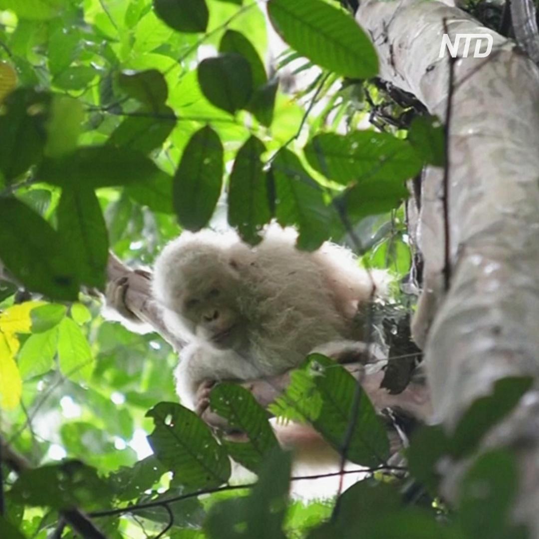 Единственный орангутанг-альбинос привыкает к свободе