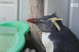 Австралийка призывает людей не кормить пингвинов-найдёнышей