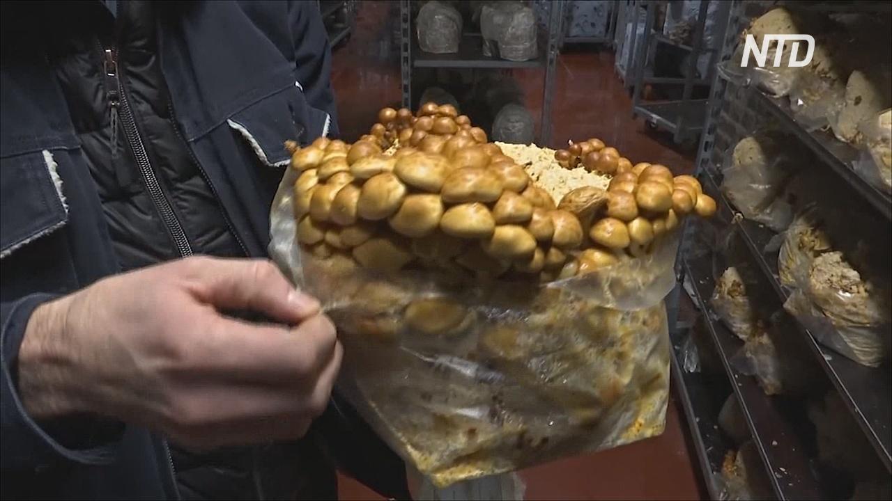 В подземелье Брюсселя из пивных отходов выращивают грибы