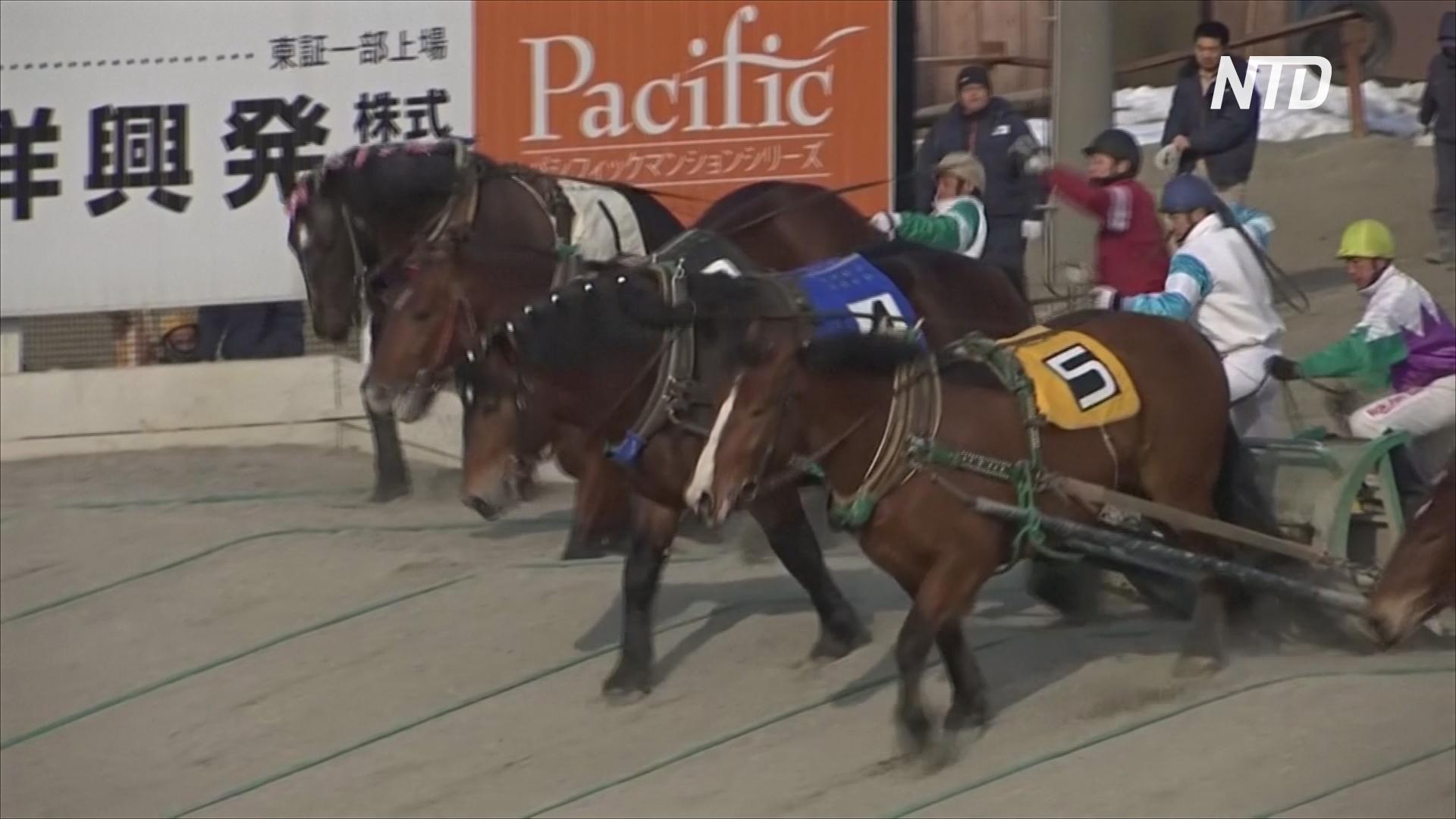 На острове Хоккайдо надеются сохранить состязания на тяжеловесных лошадях