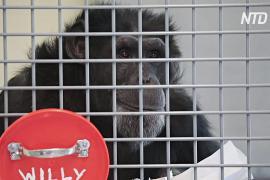 Шимпанзе в заповеднике США защищают от коронавируса