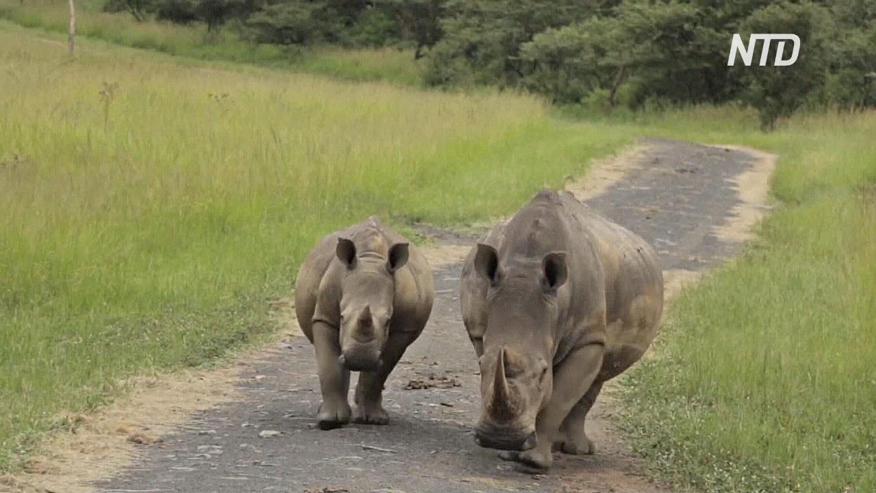 В Африке растёт популяция чёрных носорогов
