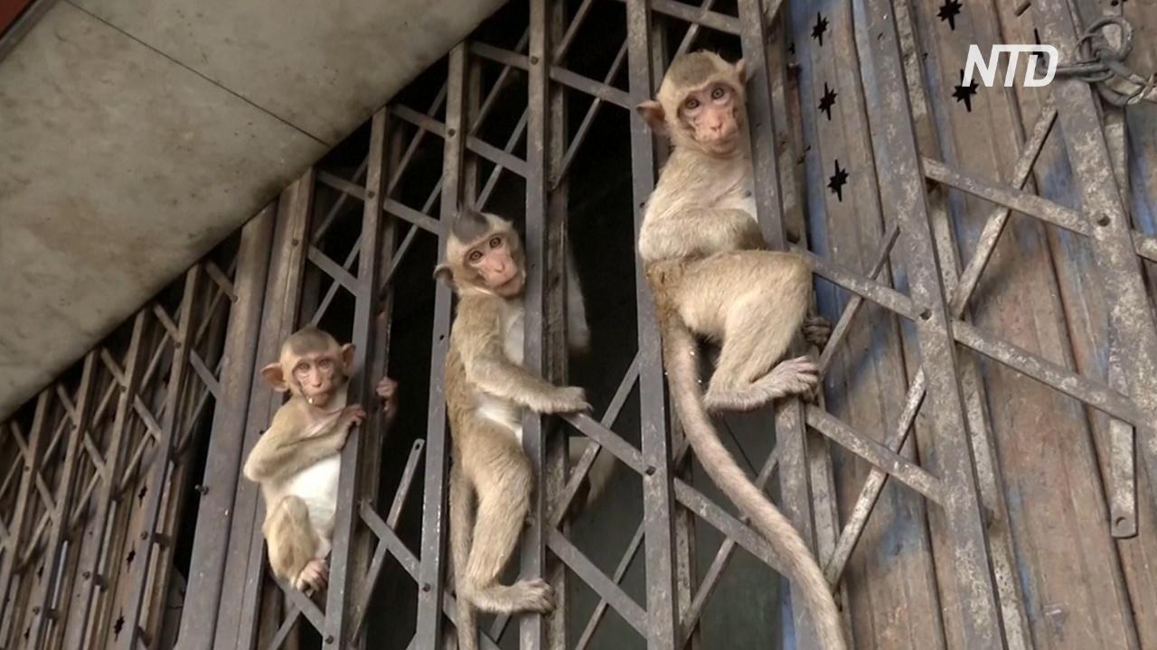 Тайские обезьяны не голодают, несмотря на отсутствие туристов