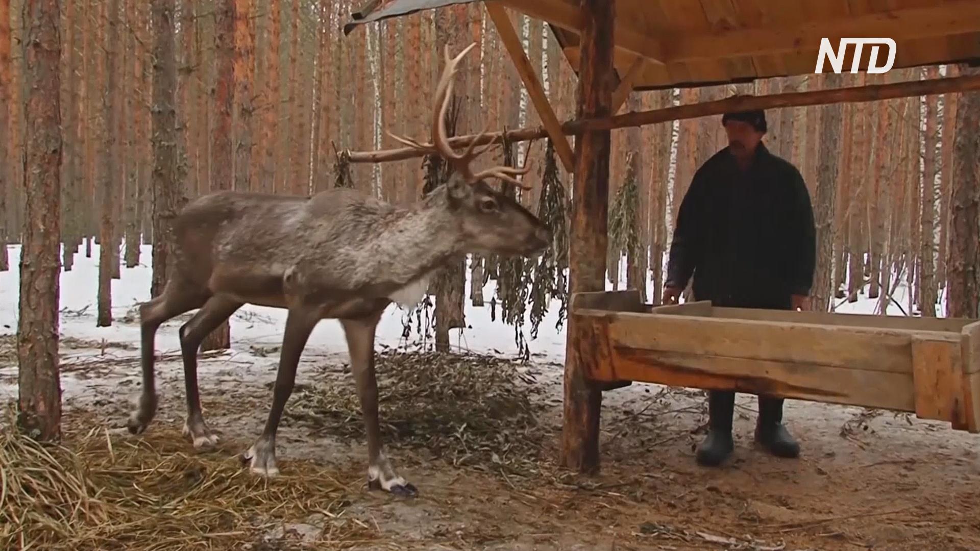 В Нижегородской области лосей и оленей подсчитывают с помощью дрона