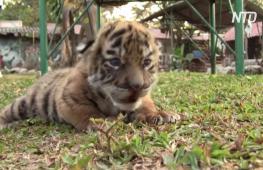 Новорождённого тигрёнка в мексиканском зоопарке назвали Ковидом