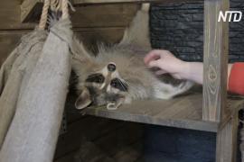 Как своевольные еноты развлекают гостей в новосибирском кафе