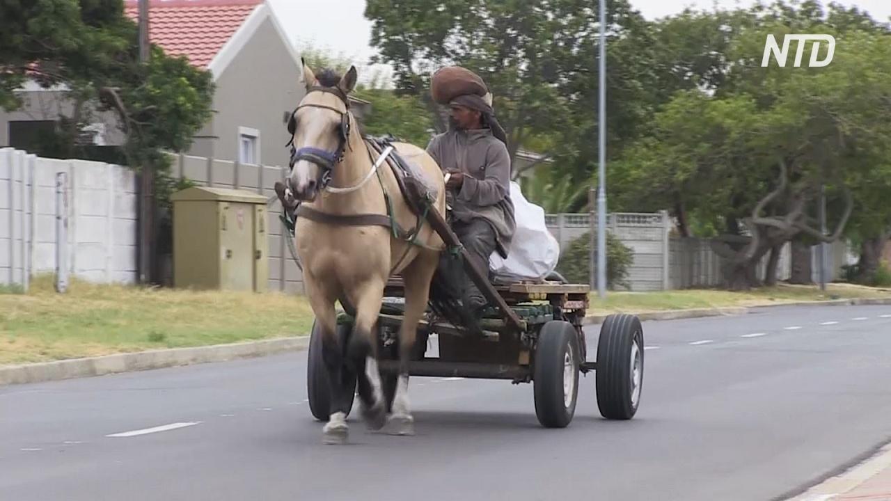 В Кейптауне стали лучше заботиться о рабочих лошадях
