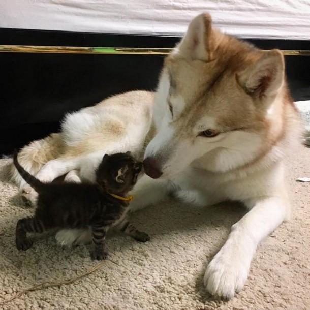 3 11 - Как ведёт себя кошка, которую воспитали собаки
