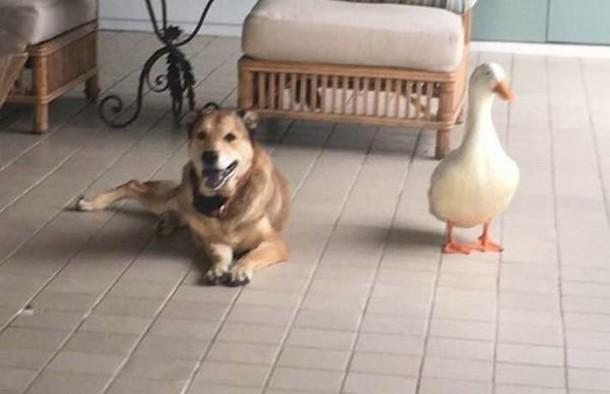 3 13 - Утка помогла псу избавиться от грусти