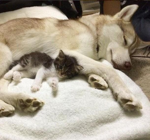 4 11 - Как ведёт себя кошка, которую воспитали собаки