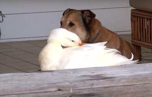 4 13 - Утка помогла псу избавиться от грусти