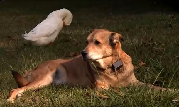 5 8 - Утка помогла псу избавиться от грусти
