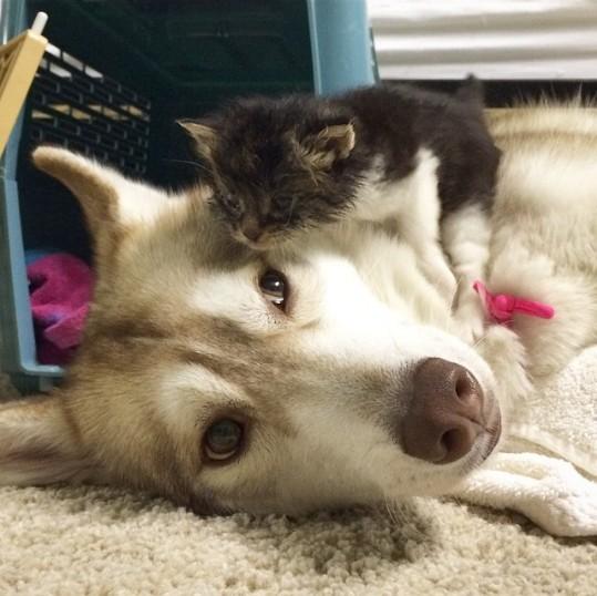6 5 - Как ведёт себя кошка, которую воспитали собаки