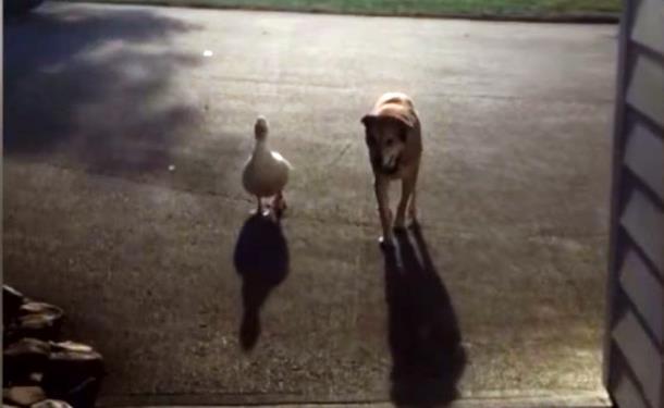 6 7 - Утка помогла псу избавиться от грусти