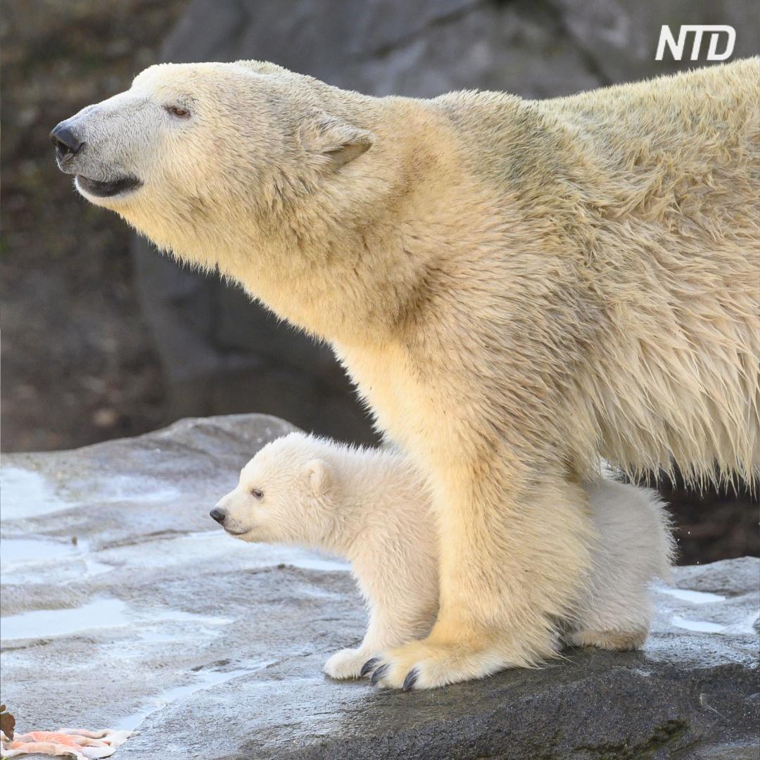 Как медвежонок венского зоопарка впервые увидел мир
