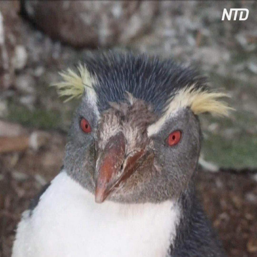 Людей призывают не кормить пингвинов-найдёнышей