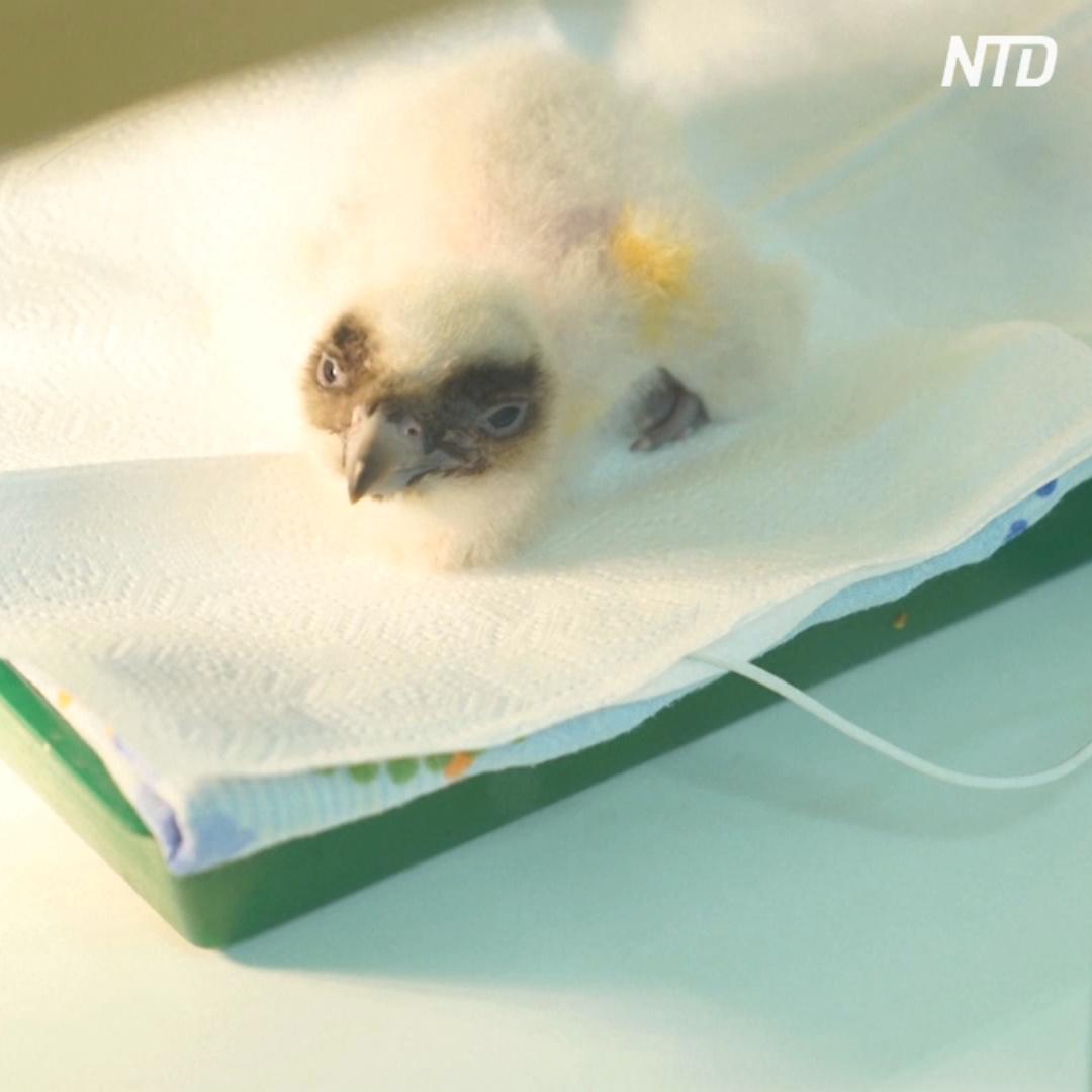 В Болгарии вылупился птенец бородача, которого в природе страны уже нет