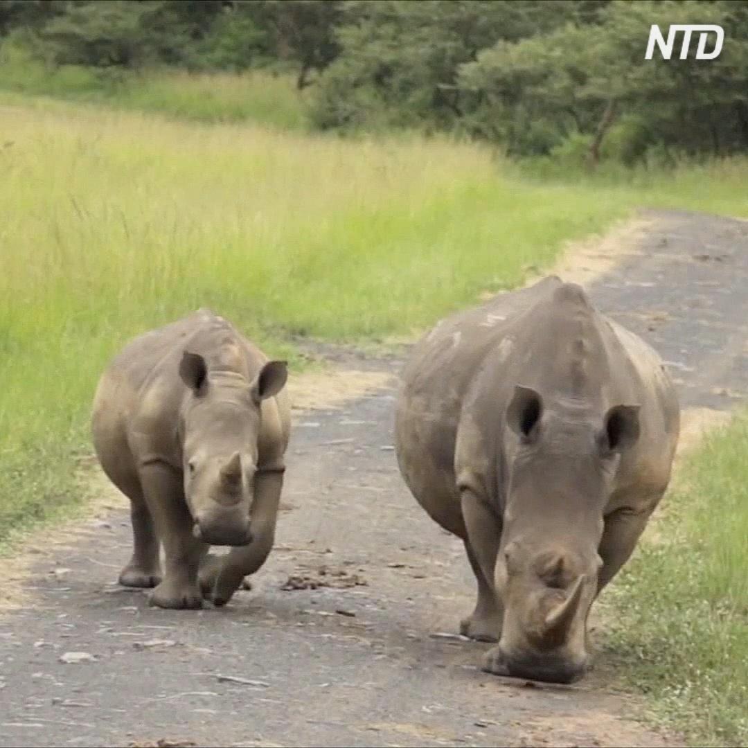 Чёрных носорогов в Африке становится больше