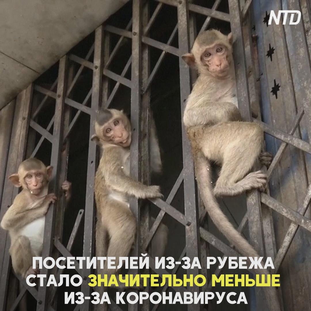 Тайским обезьянам не грозит голодная смерть из-за коронавируса