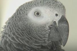 Израильский попугай предупреждает об опасности коронавируса