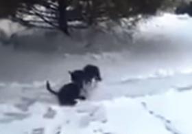 Маленькая собачка тащит кота в будку. Смешное видео