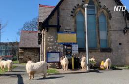 Дикие козлы хозяйничают в обезлюдевшем британском городе-курорте
