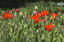 Цветущим парком Кёкенхоф в Нидерландах можно будет полюбоваться онлайн