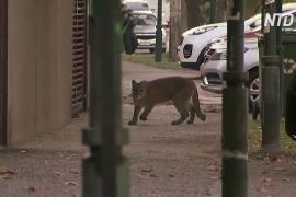 Вторая за две недели: в затихшем Сантьяго снова ловили пуму