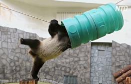 Большая панда Жуи вдохновляет сидящих на карантине побольше двигаться