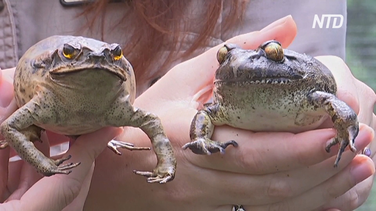 Австралийцы путают жаб и убивают не тех