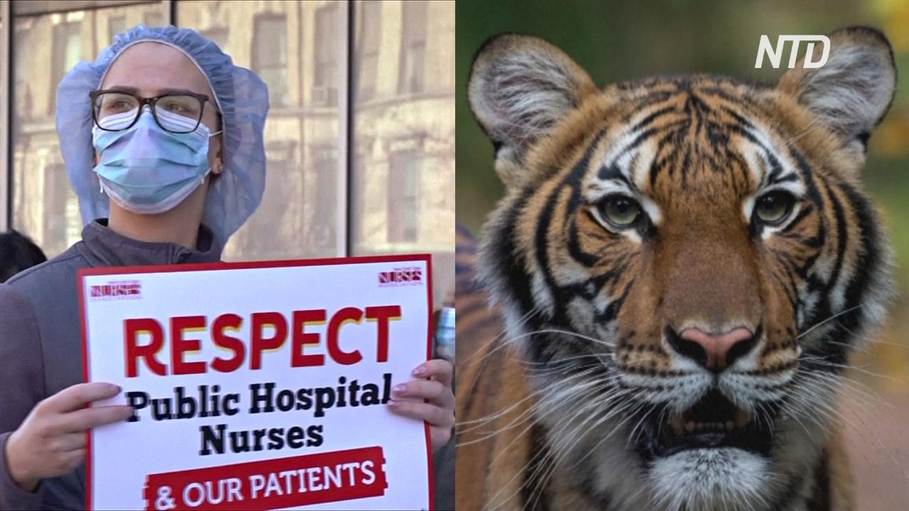 Коронавирус в Нью-Йорке: больше смертей, протесты врачей и инфицированный тигр
