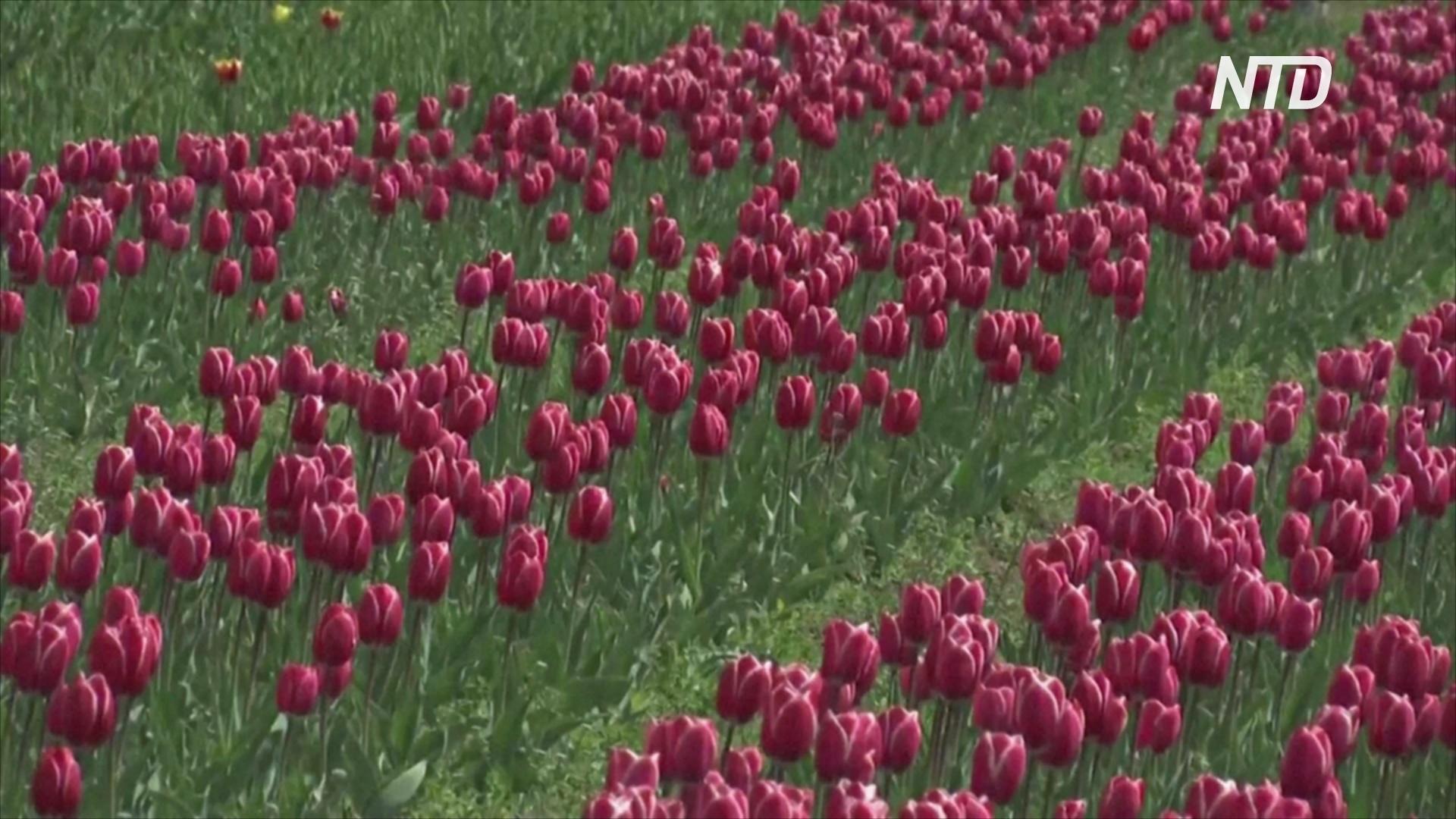 Впервые за 13 лет крупнейший в Азии сад тюльпанов цветёт без людей