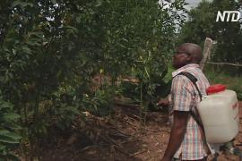 Дерево мелия поможет остановить нашествие саранчи в Африке
