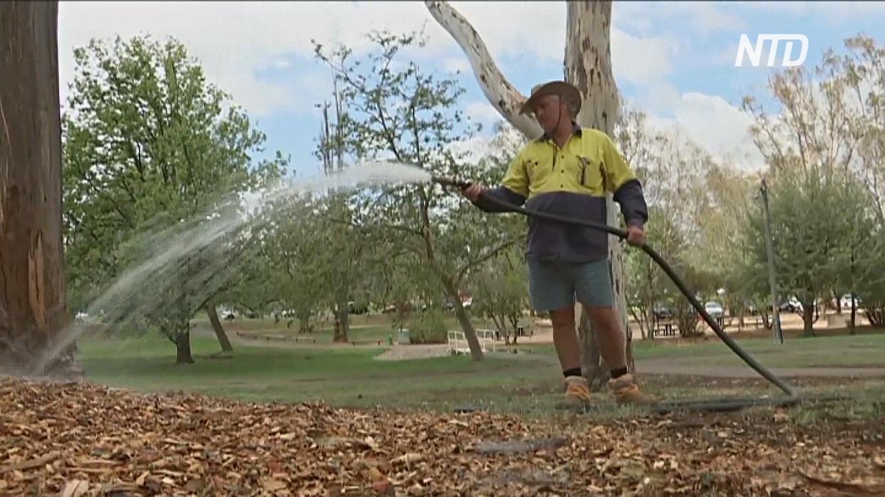 Деревья Канберры будут поливать вручную, чтобы спасти от засухи
