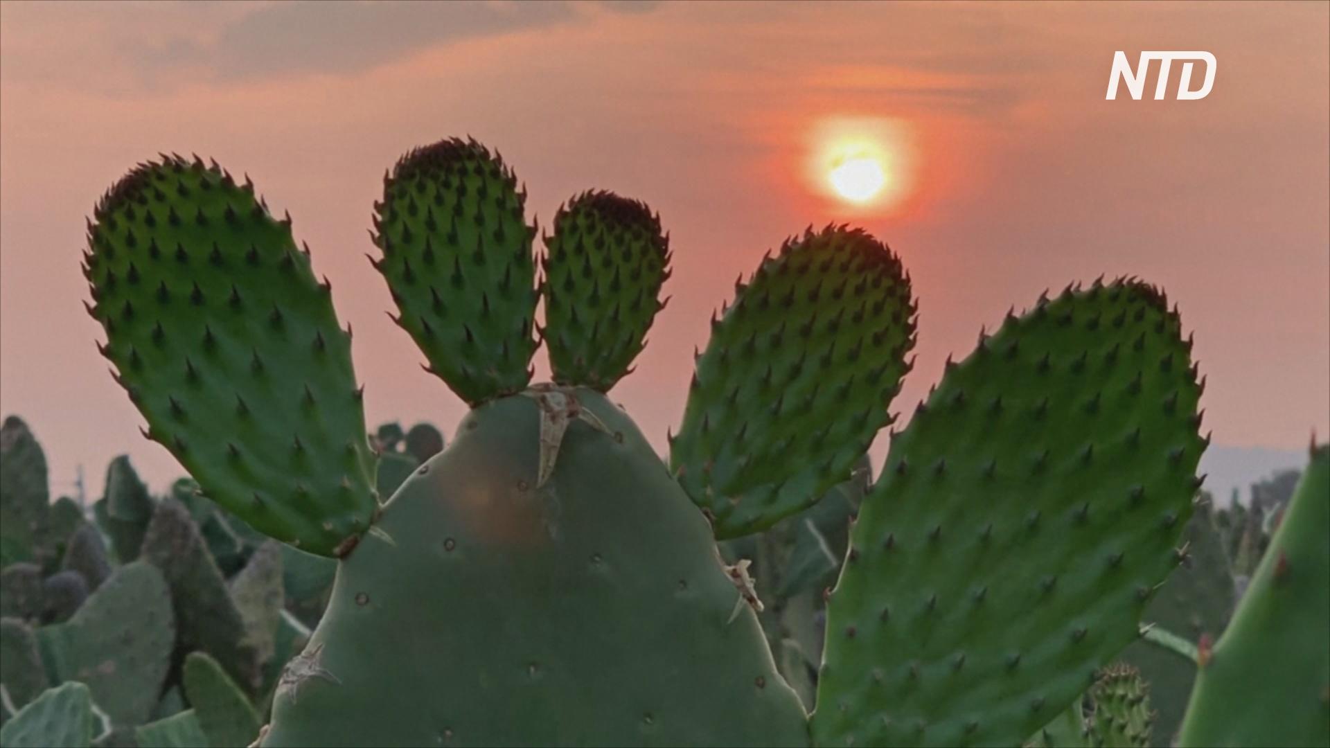 Эпидемия коронавируса больно уколола производителей кактусов в Мексике