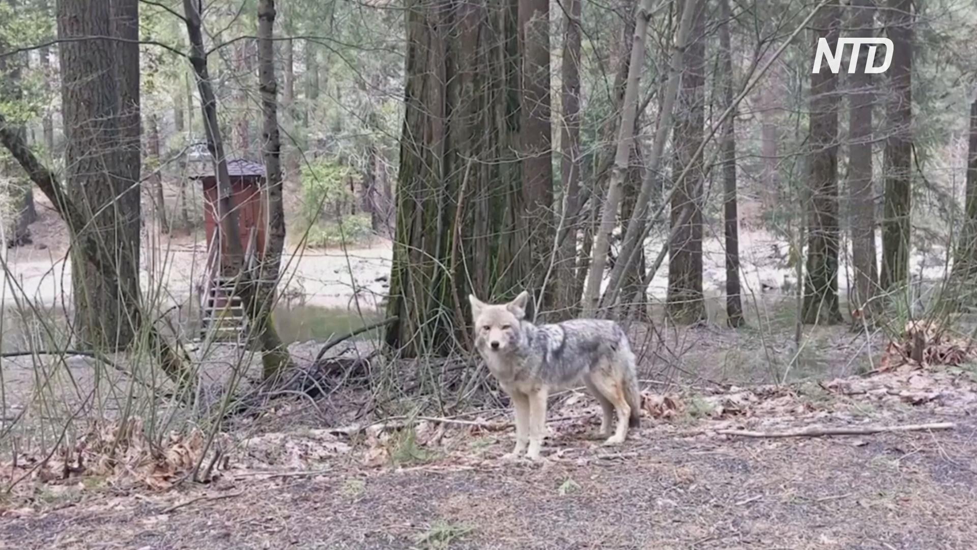 В Йосемитском заповеднике осмелели дикие животные