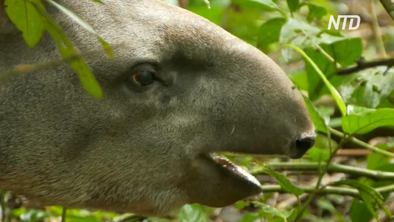 В лесах Рио впервые за столетие увидели детёныша равнинного тапира