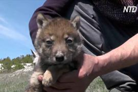 Крымские татары приютили осиротевшего волчонка