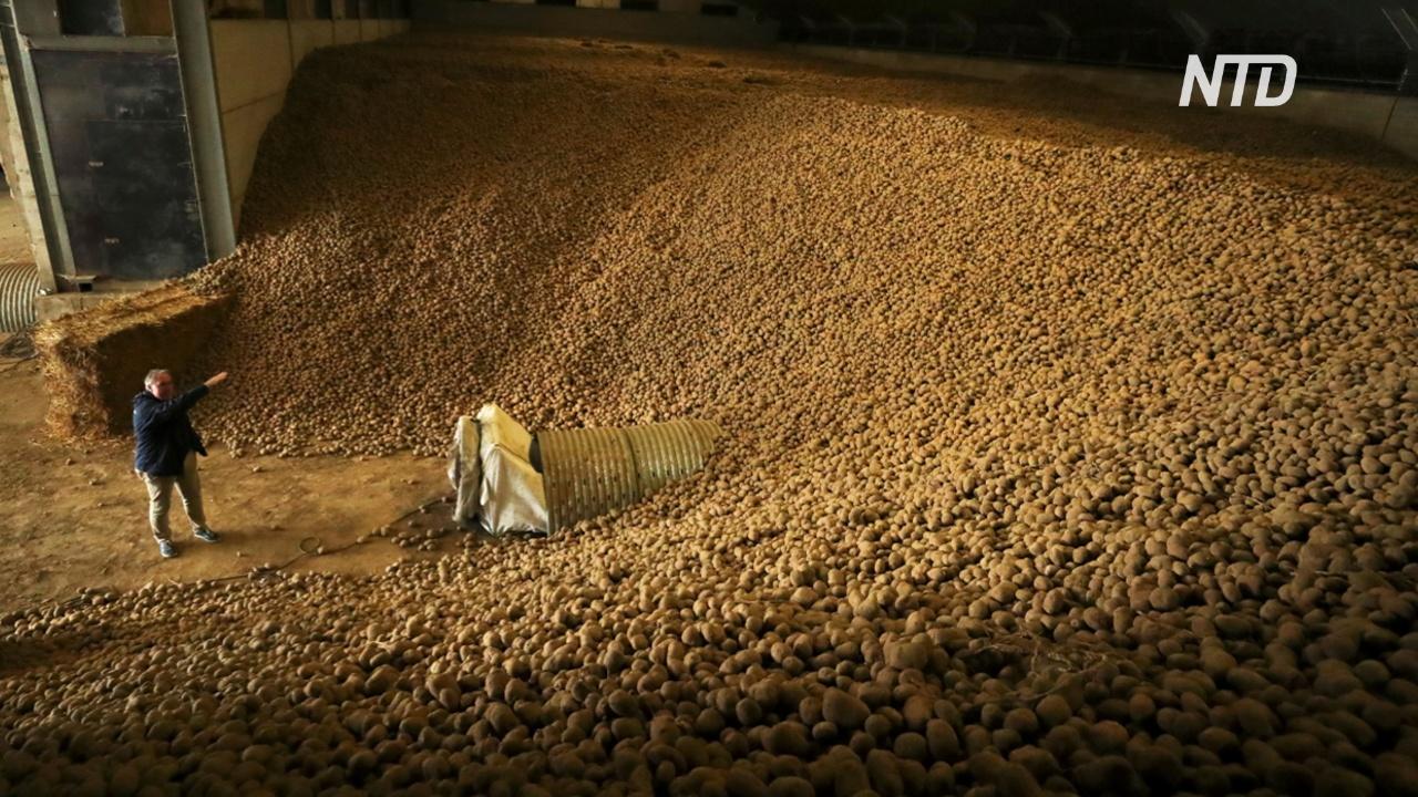 Бельгийцев призывают есть больше картофеля, чтобы помочь фермерам