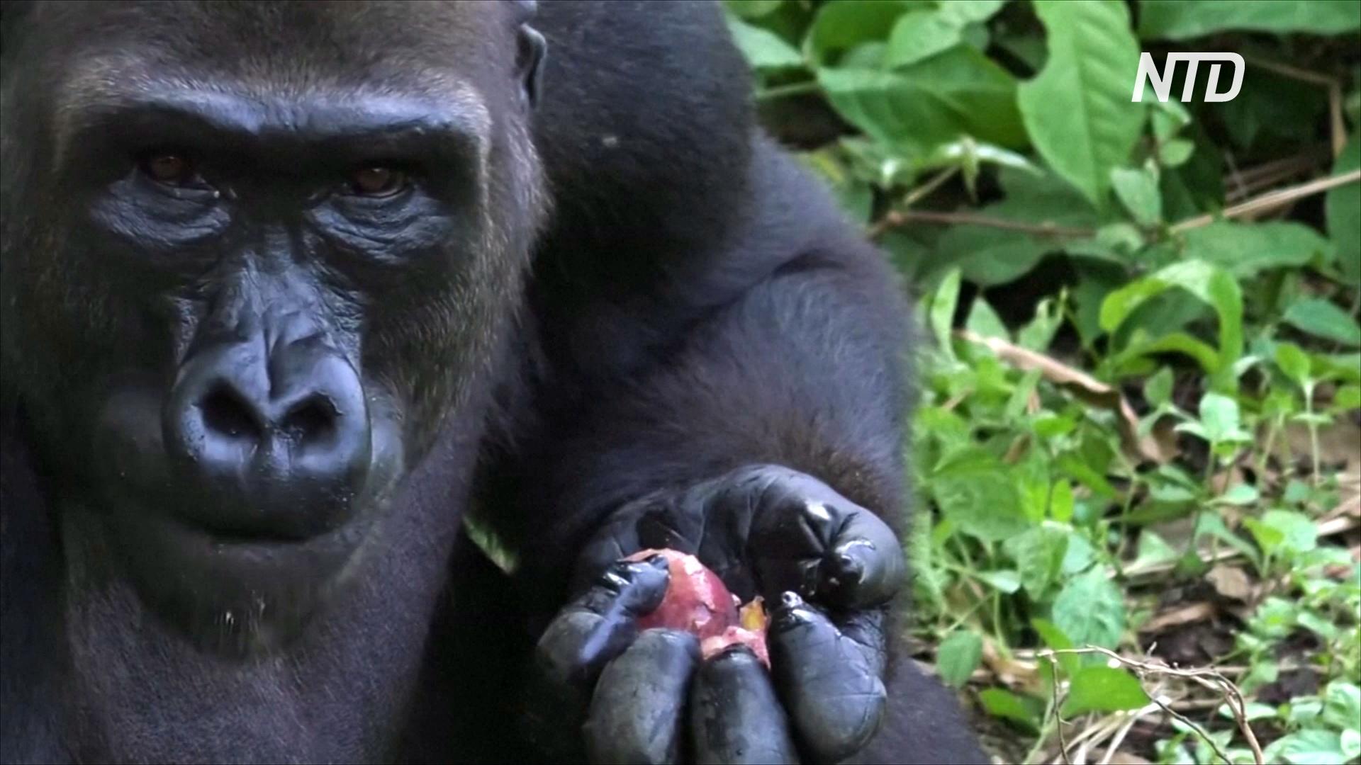 Центру приматов в Камеруне не хватает денег из-за карантина