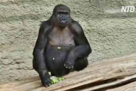 В немецком зоопарке оберегают горилл от возможного заражения COVID-19